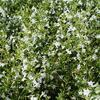 Steentijm - Calamintha nepeta 'White Cloud'