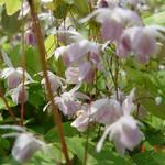 Epimedium x youngianum 'Roseum' - Elfenbloem - Epimedium x youngianum 'Roseum'