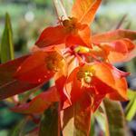 Euphorbia griffithii 'Fireglow' - Wolfsmelk - Euphorbia griffithii 'Fireglow'