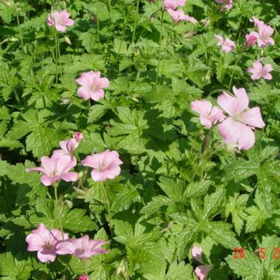 Geranium endressii 'Wargrave Pink' - Ooievaarsbek - Geranium endressii 'Wargrave Pink'