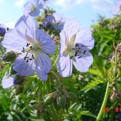 Geranium pratense 'Mrs Kendall Clark' - Beemdooievaarsbek - Geranium pratense 'Mrs Kendall Clark'