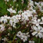 Gypsophila repens - Kruipend gipskruid - Gypsophila repens
