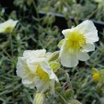 Helianthemum 'The Bride' - Zonneroosje - Helianthemum 'The Bride'
