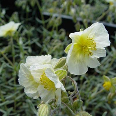 Helianthemum 'The Bride' - Zonneroosje