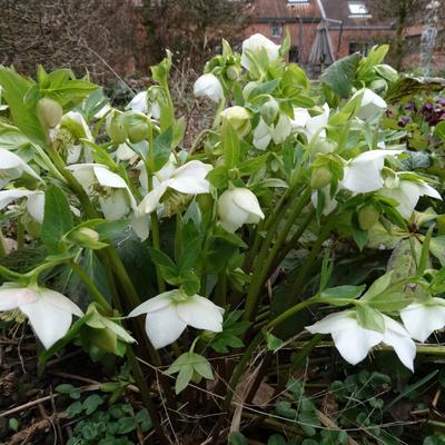 Helleborus or. 'White Lady' - Kerstroos, Nieskruid