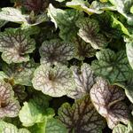 Purperklokje - Heuchera 'Beauty Colour'