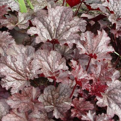 Purperklokje - Heuchera 'Plum Pudding'