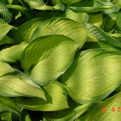 Hosta 'Gold Standard'  - Hartlelie
