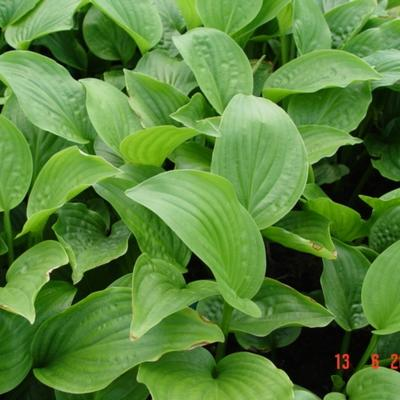 Hosta 'Royal Standard' - Hartlelie/Funkia