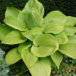 Hartlelie/Funkia - Hosta 'Sum and Substance'