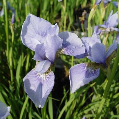 Iris sibirica 'Perry's Blue' -