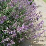 Nepeta faassenii 'Walkers Low' - Kattekruid