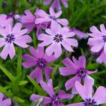 Phlox subulata 'Purple Beauty' - Kruipphlox - Phlox subulata 'Purple Beauty'