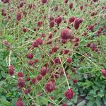 Sanguisorba officinalis 'Tanna' - Pimpernel