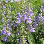 Glidkruid - Scutellaria incana