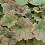 Tellima grandiflora 'Rubra' - Mijterloof - Tellima grandiflora 'Rubra'