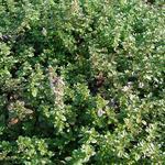 Wilde tijm, kleine tijm - Thymus serpyllum