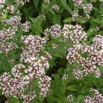Wilde marjolein, palingkruid, oregano - Origanum vulgare
