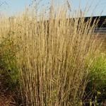 Calamagrostis x acutiflora 'Karl Foerster' - Struisriet