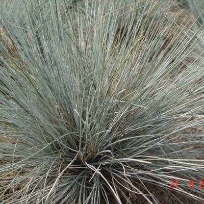 Blauw zwenkgras , blauw schapengras - Festuca glauca 'Uchte'