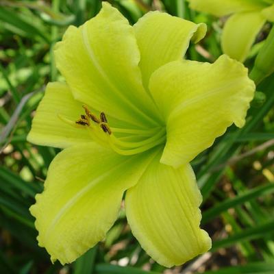 Hemerocallis 'Green Flutter' - Daglelie - Hemerocallis 'Green Flutter'