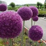 Allium giganteum - Sierui - Allium giganteum
