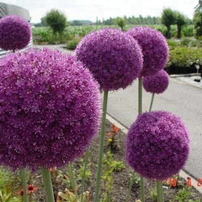 Allium giganteum -