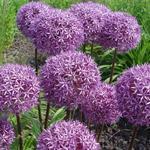 Allium  'Globemaster' - Sierui - Allium  'Globemaster'