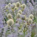 Eryngium yuccifolium - Yuccabladige kruisdistel - Eryngium yuccifolium