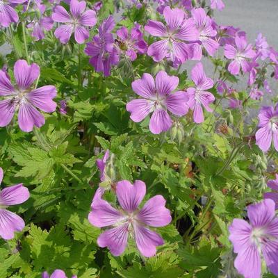Geranium 'Sirak' - Ooievaarsbek - Geranium 'Sirak'
