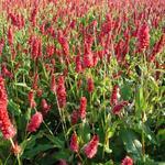 Duizendknoop - Persicaria amplexicaulis 'JS Delgado Macho'