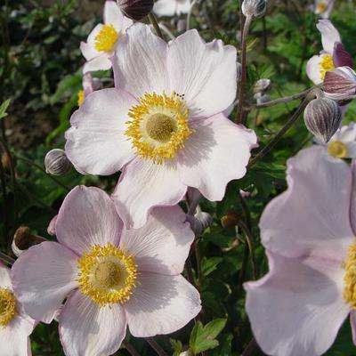 Anemone x hybrida 'Richard Ahrens' -