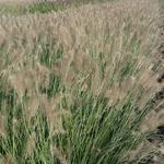 Pennisetum alopecuroides 'Reborn' - Lampepoetsergras - Pennisetum alopecuroides 'Reborn'