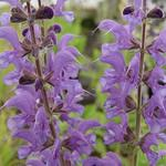 Salvia x sylvestris 'Rhapsody in Blue' - Salie