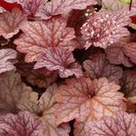 Heuchera 'Berry Smoothie' - Purperklokje