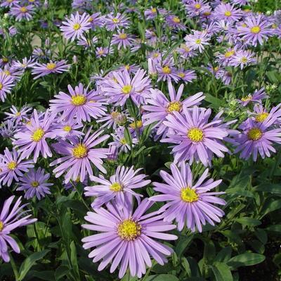 Aster amellus 'Blütendecke' -