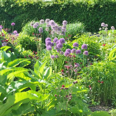 Allium 'Gladiator' -
