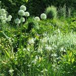 Allium 'Mont Blanc' - Allium 'Mont Blanc' - Sierui
