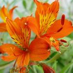 Alstroemeria aurea 'Orange King' - Incalelie