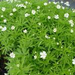 Anemone canadensis - Anemoon