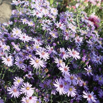 Aster cordifolius 'Blue Heaven' - Aster - Aster cordifolius 'Blue Heaven'
