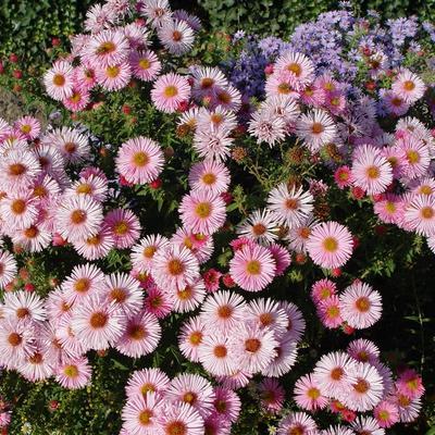 Aster novae-angliae 'Rosa Sieger' - Aster - Aster novae-angliae 'Rosa Sieger'