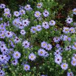 Aster turbinellus - Aster