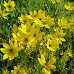 Coreopsis 'El Dorado' - Coreopsis 'El Dorado' - Meisjesogen