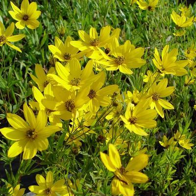 Coreopsis 'El Dorado' - Meisjesogen - Coreopsis 'El Dorado'