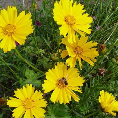 Coreopsis grandiflora 'Sunburst' - Meisjesogen - Coreopsis grandiflora 'Sunburst'
