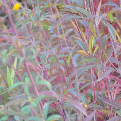 Coreopsis tripteris 'Red November' - Meisjesogen - Coreopsis tripteris 'Red November'