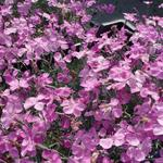Dianthus gratianopolitanus 'Blauigel' - Rotsanjer - Dianthus gratianopolitanus 'Blauigel'