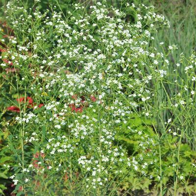 Euphorbia corollata -