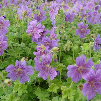 Geranium 'Alan Mayes' -
